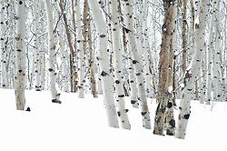 Aspen Tree trunks in the snow