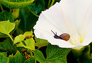 350604-1000 ~ Copyright: George H.H. Huey ~ Land snail on morning-glory flower.  San Miguel Island. Channel Islands National Park, California.