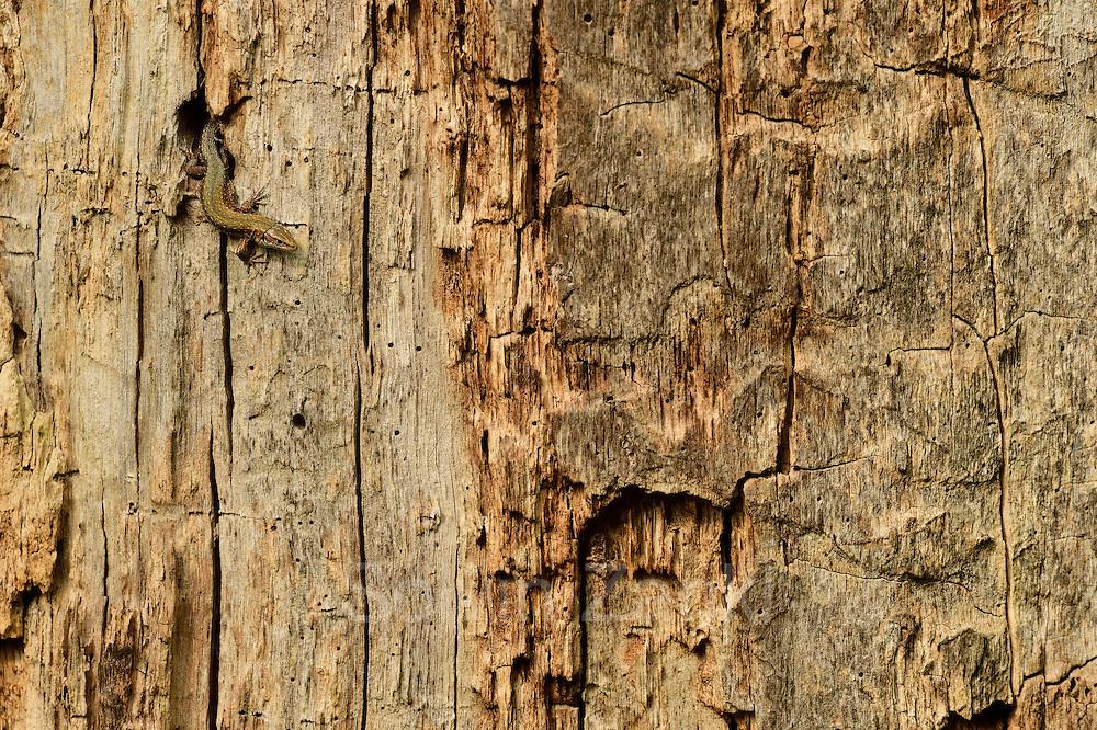 Eine Waldeidechse oder auch Mooreidechse (Zootoca vivipara) jagt auf einem toten Eichenstamm nach Spinnen und Insekten. | Viviparous lizard (Zootoca vivipara)