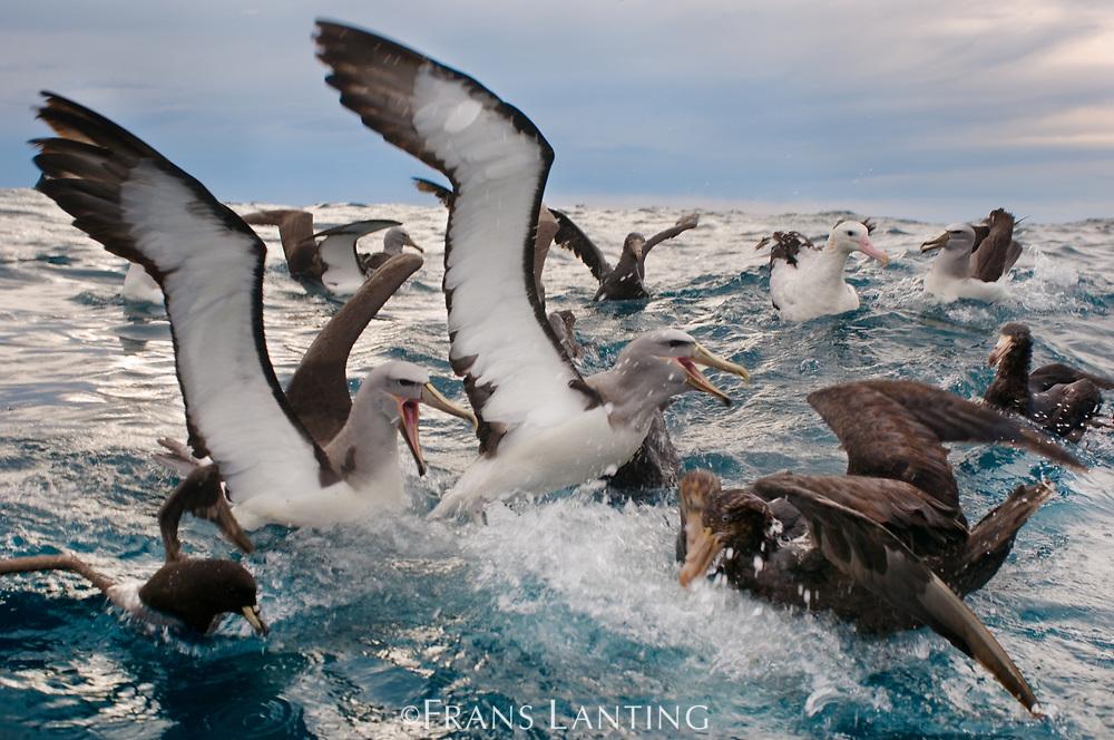 Salvin's albatrosses, Thalassarche salvini, fighting over food with other seabirds, Kaikoura, New Zealand