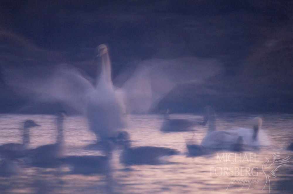 Fog envelopes trumpeter swans and Canada geese at first light.  Nebraska Sandhills.