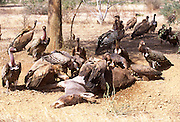 A pack of vultures feeding on road kill in Senegal