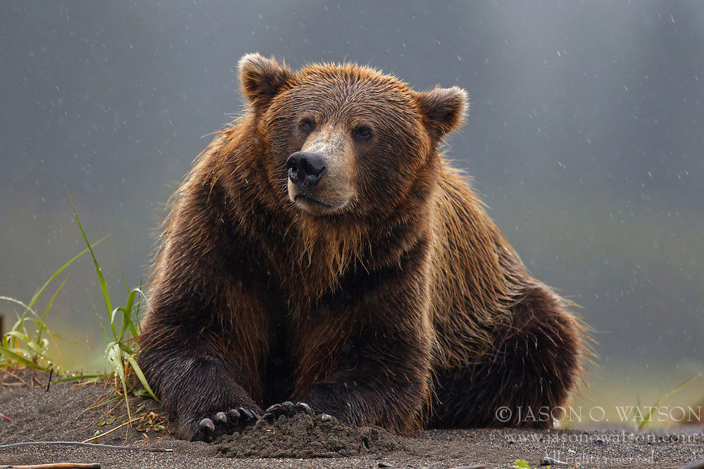 North American brown bear / coastal grizzly bear (Ursus arctos horribilis) sow lays down on a beach, Lake Clark National Park, Alaska, United States of America