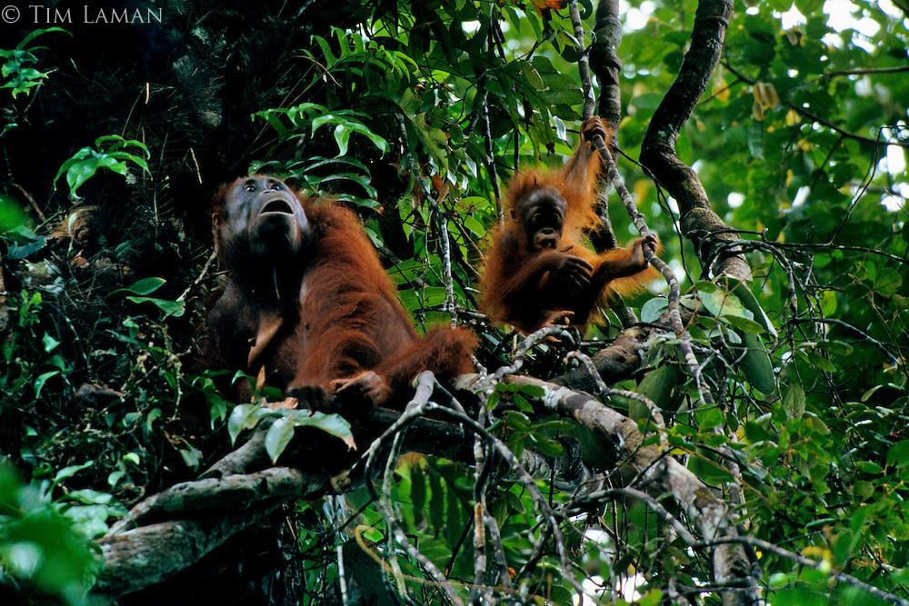 Adult female Bornean Orangutan (Pongo pygmaeus) with juvenile playing on vine nearby.  Gunung Palung National Park, West Kalimantan, Indonesia.