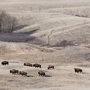 American bison, Badlands National Park, South Dakota, USA.
