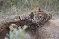 Juvenile African lions at play, Duba Plains, Botswana