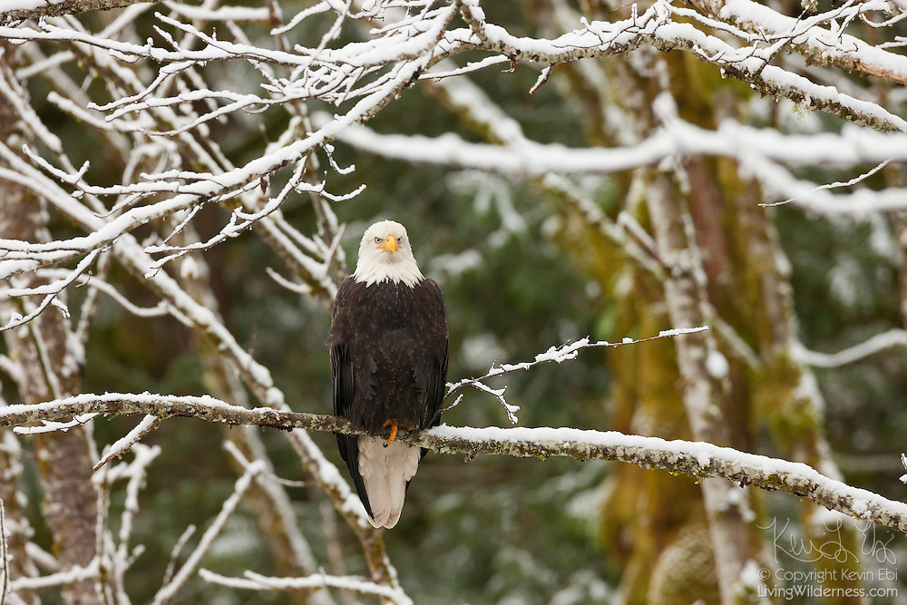 A bald eagle (Haliaeetus leucocephalus) sits on a snow-covered branch near Brackendale, British Columbia, Canada.