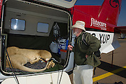 Lioness on airplane for relocation to Malawi (Panthera leo)<br /> Pilansberg Game Reserve<br /> North West Province<br /> SOUTH AFRICA