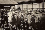 Cattle in holding pen at Warren Ranch on Katy Prairie Conservancy; Katy; Texas