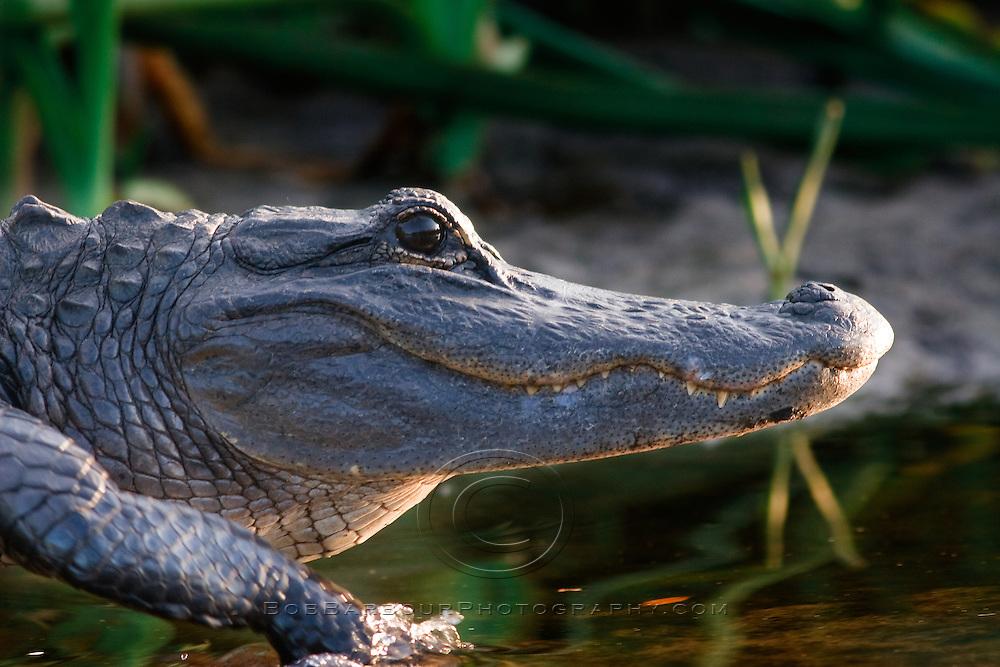 Alligator, alligator mississippiensis, rushes off of bank into Sebastian River, Florida