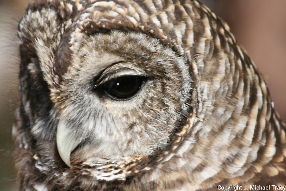 Closeup of a Barred Owl face and eyes. Side view.