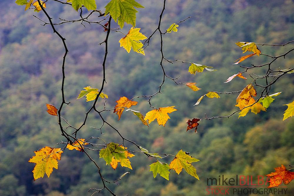 London Plane or Hibrid Plane (Platanus x hispanica) leaves in autumn. Saja-Besaya Natural Park (Cantabria)