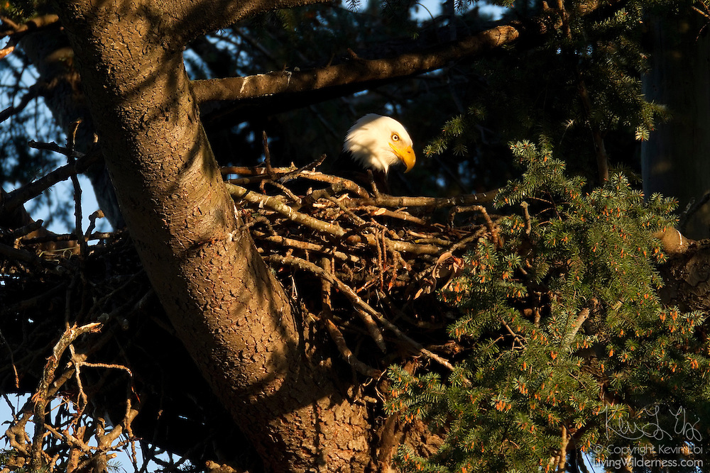 An adult bald eagle (Haliaeetus leucocephalus) sits over its nest in Heritage Park, Kirkland, Washington. Bald eagles typically lay from one to three eggs, though occasionally they will lay four. This particular nest produced two healthy juveniles.