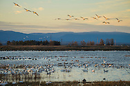 Winter Waterfowl at Sunset, Sacramento National Wildlife Refuge, California