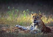 Leopard at Kanjuran Villu, Wilpattu National Park, Sri Lanka.
