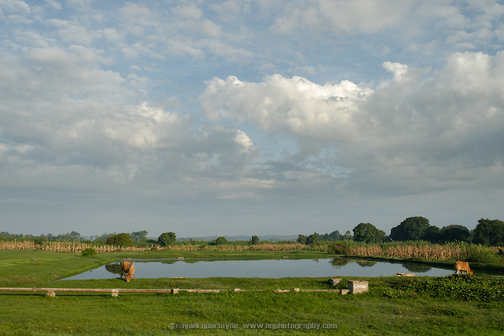 Cows, maize crops and a farm dam near Tororo, Uganda on 2 August 2014.