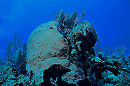 Blushing star coral, Grand Cayman, Caribbean