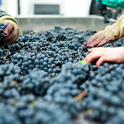 London, UK - 15 October 2013: the grapes are hand sorted to ensure that all bad bunches, rotten berries and leaves are removed before destemming at the new London Cru , the first urban winery in London.