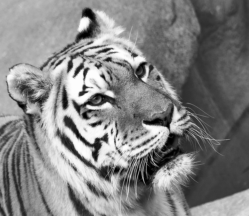 Soul Survival: Amur Tiger (Scientific name: Panthera tigris altaica)<br /> Endangered/Species Survival Plan