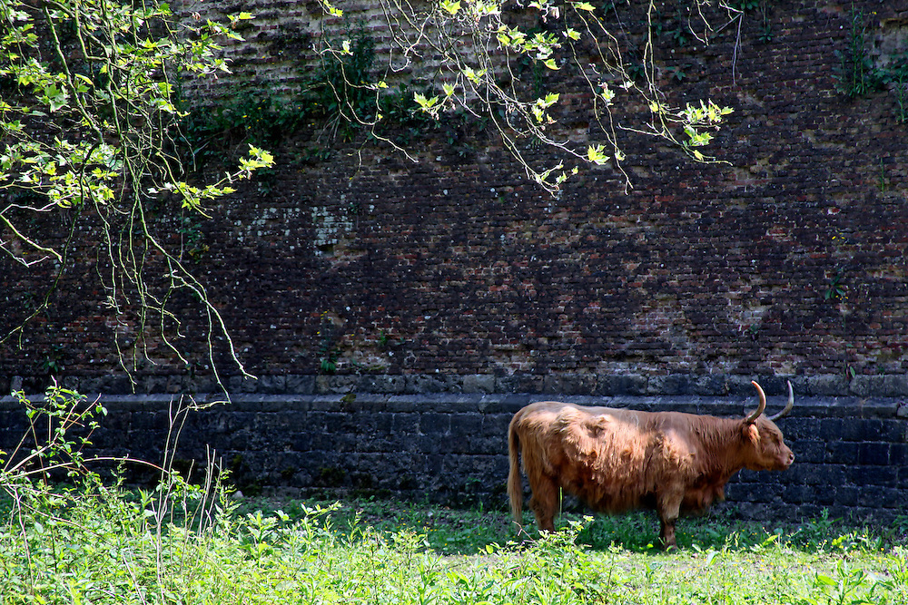 Europe, France, Lille. Cow at the Citadel in Lille.