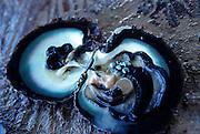 Black Pearl<br />