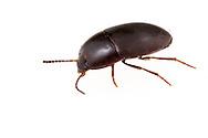 Darkling Beetle (Gondwanocrypticus obsoletus)<br /> United States: Alabama: Tuscaloosa Co.<br /> Tulip Tree Springs off Echola Rd.; Elrod<br /> 5-Sep-2016<br /> J.C. Abbott #2864 &amp; K.K. Abbott