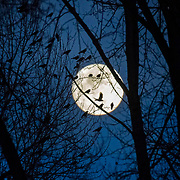 Dozens of American crows (Corvus brachyrhynchos) roost in trees along the Sammamish River in Bothell, Washington, as the full moon rises. Crows gather in several temporary roosts at sunset, moving together into one roost that numbers more than 10,000 birds at nightfall.