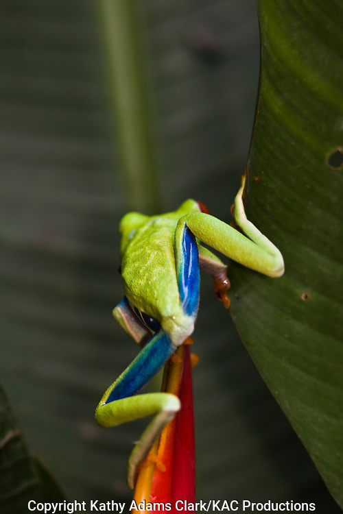 flying leaf-frog, red-eyed treefrog, Agalychnis spurrelli, La Paz Waterfall Garden, costa rica.