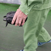 An elderly prisoner brings a pet turtle from it's tank, outside into a walled recreation space, Onomichi prison, Japan. May 19th 2008