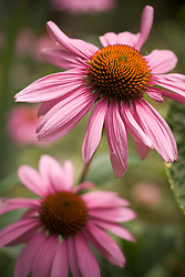 A group of purple coneflowers in bloom