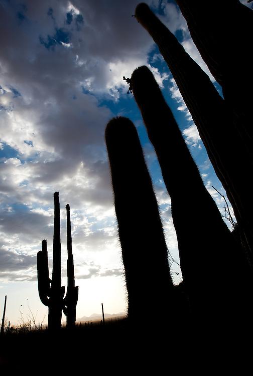Saguaro Cacti silhouetted against the evening sky in Saguaro National Park near Tucson, AZ