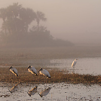 Florida wildlife photography artwork of three Everglades Wood Storks and a Great White Egret during a foggy morning near road side ponds off route 41 in Florida at the northern tip of Everglades National Park. This Florida wildlife photography image is available as museum quality photography prints, canvas prints, acrylic prints or metal prints. Fine art prints may be framed and matted to the individual liking and decorating needs:<br />