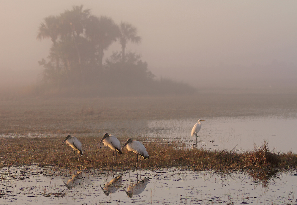 Florida wildlife photography artwork of three Everglades Wood Storks and a Great White Egret during a foggy morning near road side ponds off route 41 in Florida at the northern tip of Everglades National Park. This Florida wildlife photography image is available as museum quality photography prints, canvas prints, acrylic prints or metal prints. Fine art prints may be framed and matted to the individual liking and decorating needs:<br /> <br /> http://fineartamerica.com/featured/florida-everglades-wood-storks-juergen-roth.html<br /> <br /> All Florida photos are available for digital and print image licensing at http://www.RothGalleries.com. Please contact me direct with any questions or request.<br /> <br /> <br /> Good light and happy photo making!<br /> <br /> My best,<br /> <br /> Juergen<br /> Prints: http://www.rothgalleries.com<br /> Photo Blog: http://whereintheworldisjuergen.blogspot.com<br /> Twitter: @NatureFineArt<br /> Instagram: https://www.instagram.com/rothgalleries<br /> Facebook: https://www.facebook.com/naturefineart