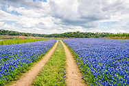 Bluebonnets beside the road