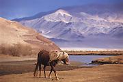 Mongolian horse<br /> Western Mongolia