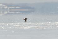 Bald Eagles in Flight on Onondaga Lake 2/3/2013