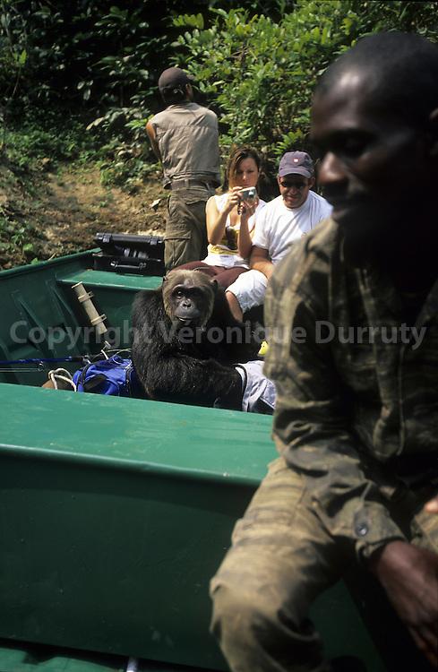 Profitant du passage du bateau pres des rives, ce chimpanze a saute dans la barque This chimpanzee jumped into the boat while it was near the banks!