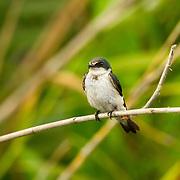 Mangrove Swallow <br /> Tachycineta albilinea<br /> San Blas, Nayarit, Mexico<br /> 6 June     Adult in worn plumage.      Hirundinidae