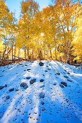 Aspen leaves on the snow. Huerfano National Forest, Colorado.