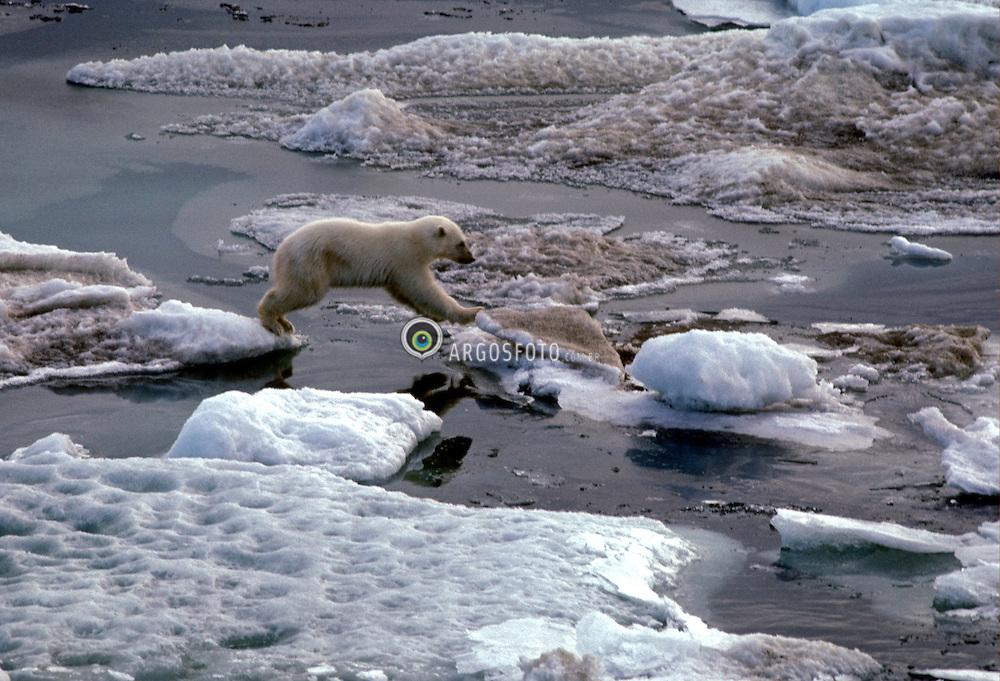 Urso Polar, Polo Norte e Groelandia. O urso-polar (Ursus maritimus), tambem conhecido como urso-branco, e um mamifero membro da familia dos Ursideos, tipico e nativo do Artico e atualmente o maior carnivoro terrestre conhecido/ The polar bear (Ursus maritimus), also known as the white bear, northern bear, sea bear, ice bear or nanuq..Foto © Christiana Carvalho/Argosfoto
