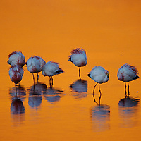 Flamingos puff up against the cold at Laguna Colorada in the Atacama Desert of Bolivia.<br /> <br /> Canvas gallery wrapped print is 18x24&quot;.