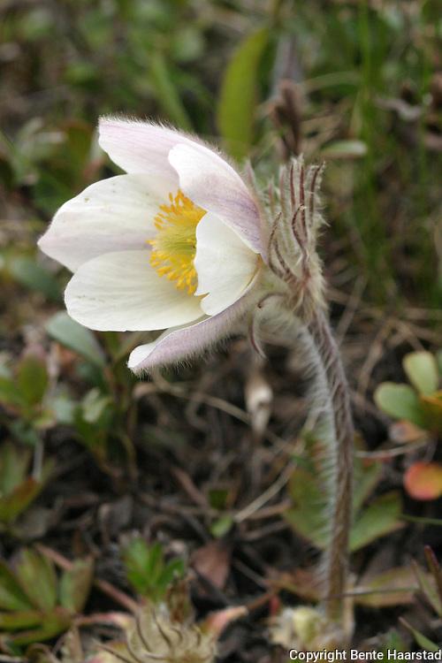 mogop, Anemone vernalis.