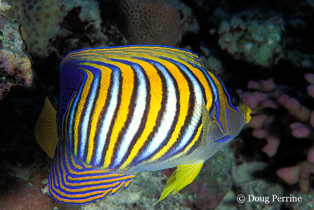 regal, royal, or blue-banded angelfish, Pygoplites diacanthus, Great Barrier Reef, Australia ( Western Pacific Ocean )