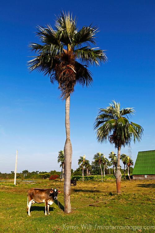 Central America, Cuba, Pinar del Rio. Palma de sierra trees on Cuban farm in Pinar del Rio province.