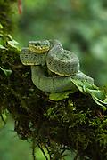 Two-striped forest pitviper (Bothrops bilineata smaragdinus)<br /> Amazon<br /> ECUADOR<br /> Vivarium ID # 3484<br /> Captive