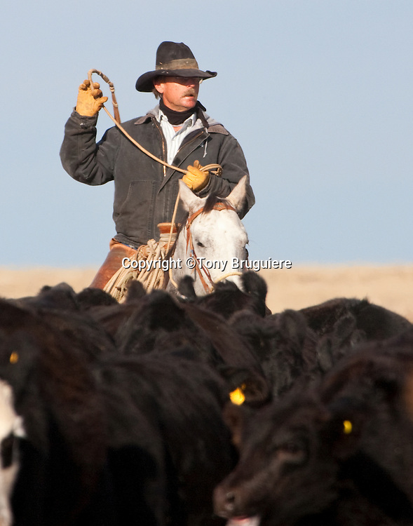 Floyd Myers moves the Broken spear Ranch cattle to the pens for fall weaning and pregency check.