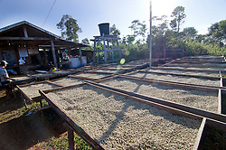 Arabica coffee beans drying outside after the harvest. Paksong, Laos, Asia