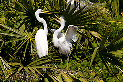 A great egret (Ardea alba) looks for food from its parent. The nest is located in the Gatorland alligator breeding marsh and bird sanctuary near Orlando, Florida. The bird sanctuary is the largest and most easily accessible wild wading bird rookery in east central Florida. Great egrets were hunted almost to extinction for its plumage, used by the fashion industry, in the 1800's. The Aududon Society was formed during this period to push for protection for the birds from the fashion industry.