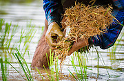 Planting Rice in Nakhon Nayok, Thailand PHOTO BY LEE CRAKER