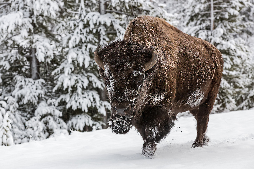 With their incredibly thick winter coat, bison can withstand frigid temperatures better than most  residents of the Greater Yellowstone Ecosystem.  This big bull barely noticed the snow and cold as he sauntered down the road in the Shoshone National Forest.